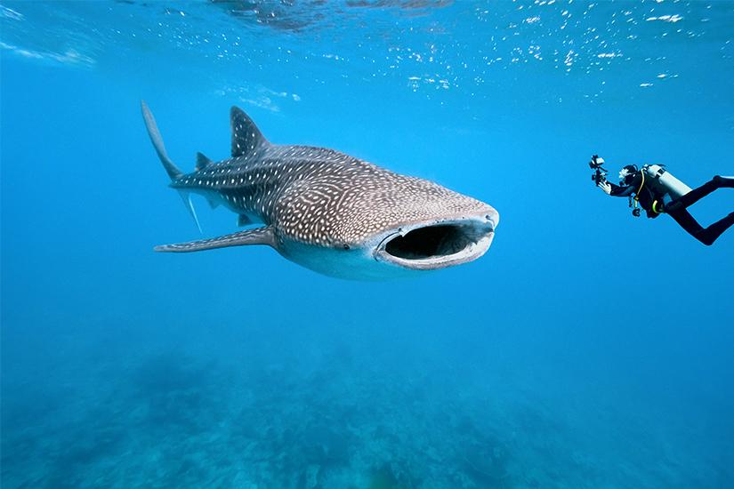 Tauchen mit Walhai
