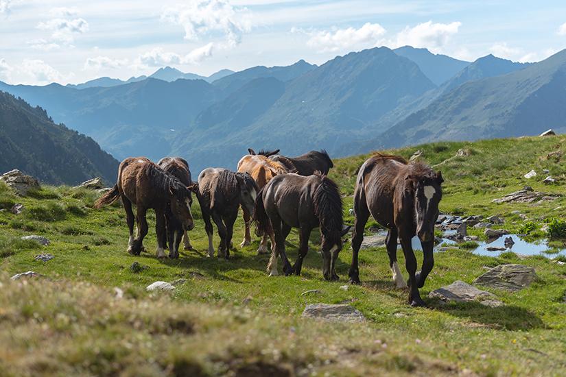 Pferde im Vall de Sorteny