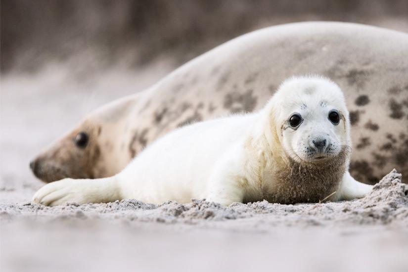 Robbenbabys beobachten