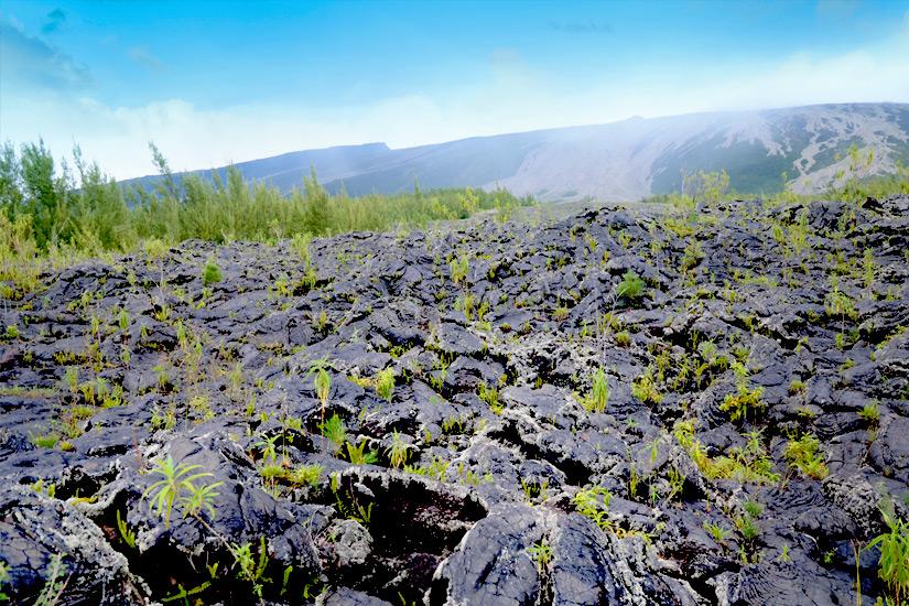 Pflanzen spriessen in den Coulees de Lava