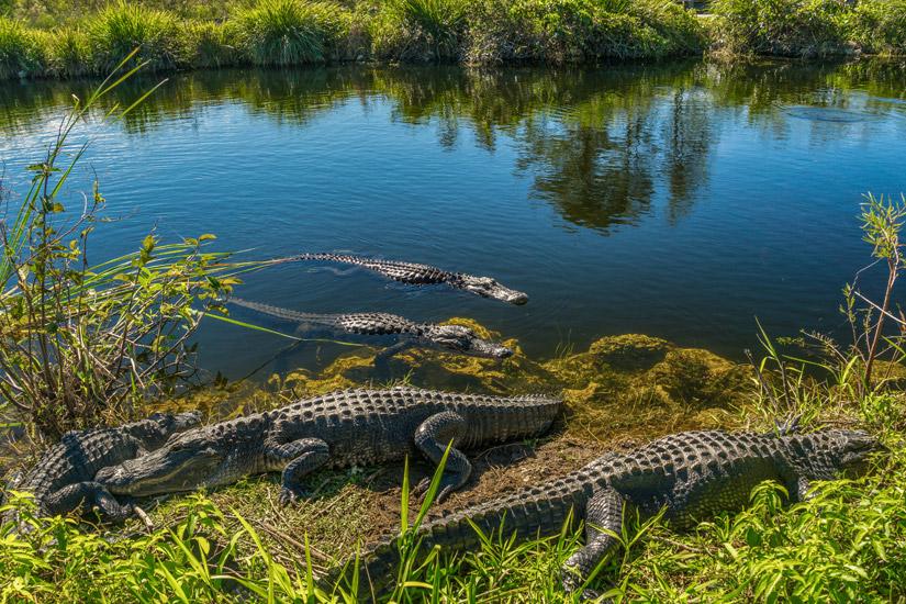 Alligatoren-Florida-Everglades