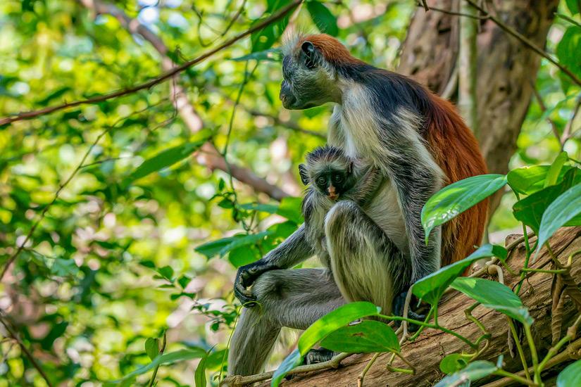 Sansibar Stummelaffen auf einem Baum