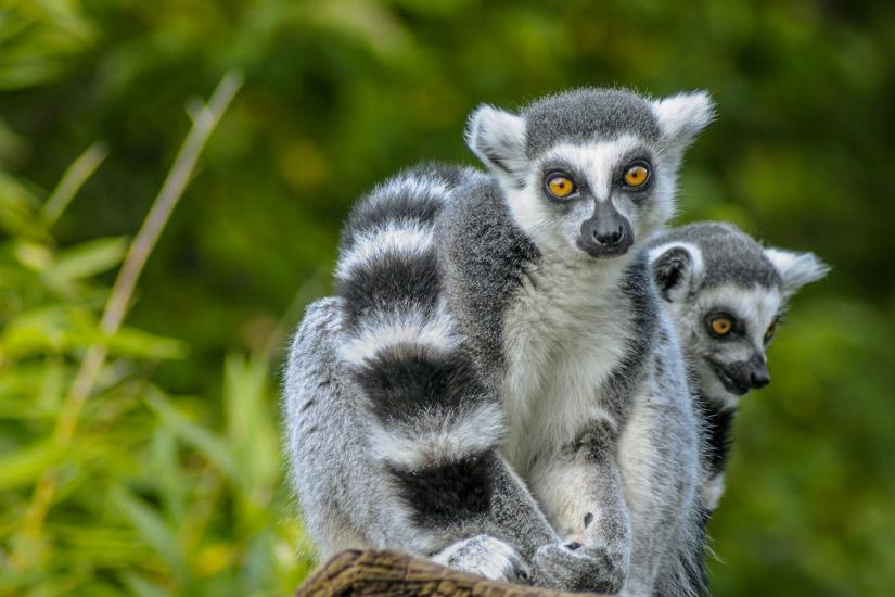 Madagaskar-Lemuren