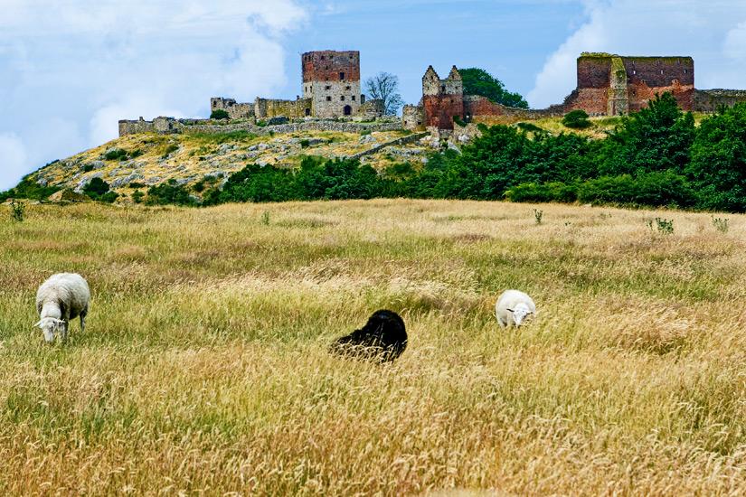 Burgruine Hammerhus mit weidenden Schafen