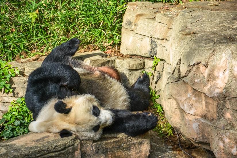 Panda im Smithsonian National Zoological Park