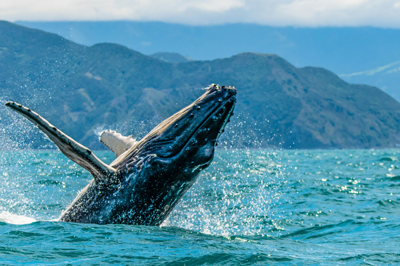 Buckelwal vor der Kueste Neuseelands