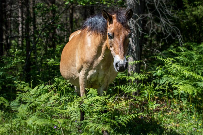 Pony auf Gotland