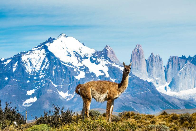 Die Kamelart Guanako