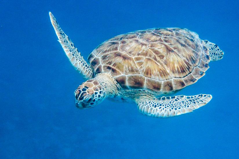 Eine-Gruene-Meeresschildkroete-vor-Barbados