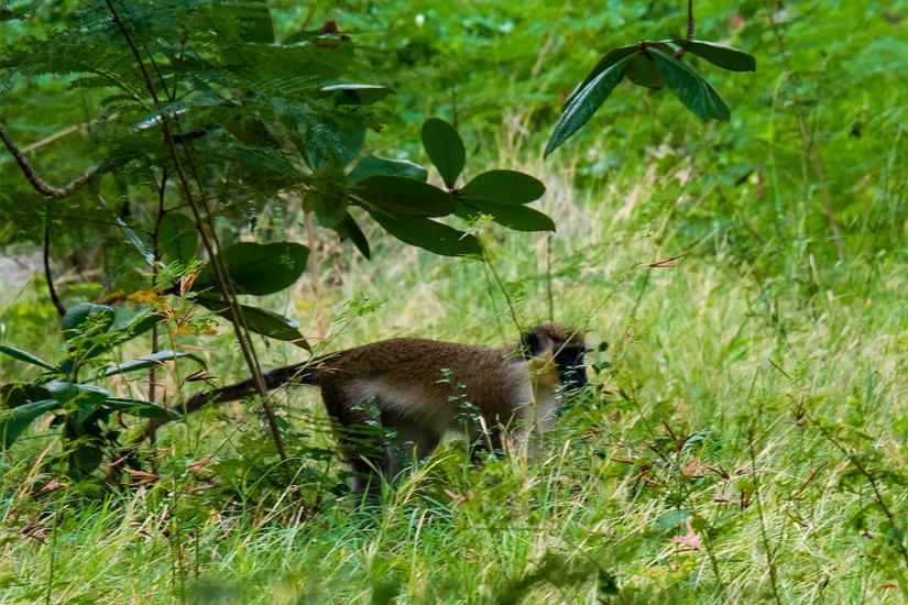 Gruene-Meerkatze-auf-Barbados
