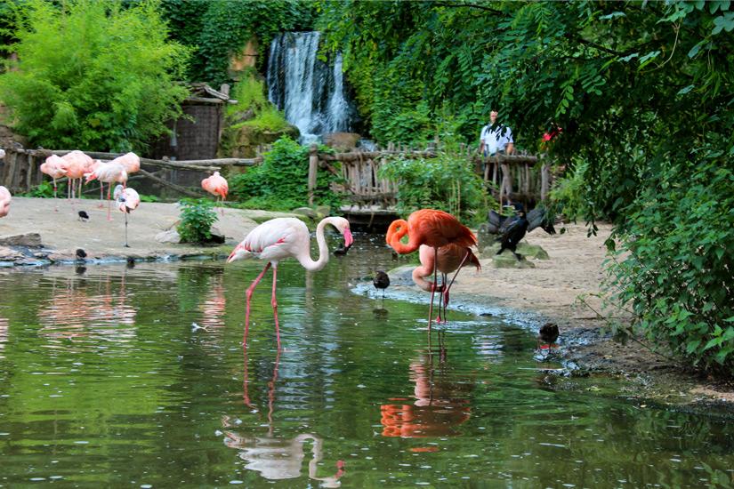 Flamingos-im Erlebnis-Zoo-Hannover