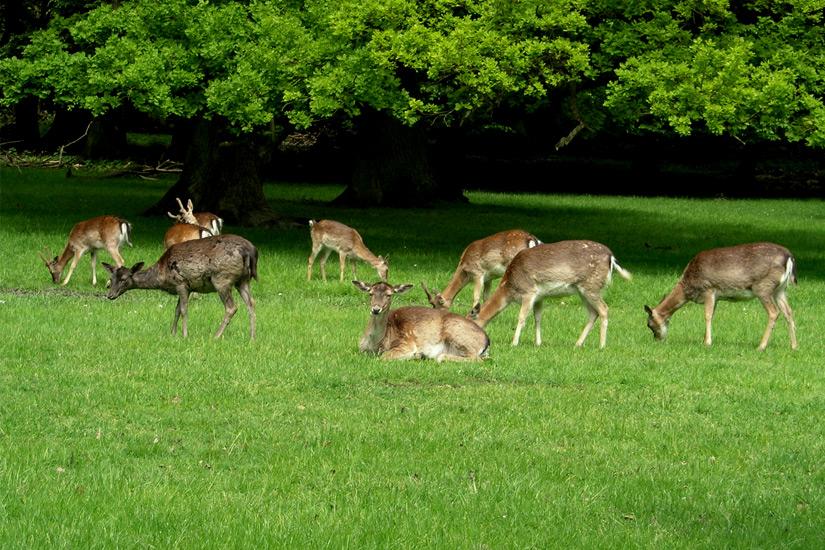 Grasendes-Wild-im-Tiergarten